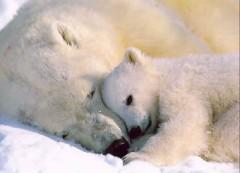 bearspolarmotherandbaby